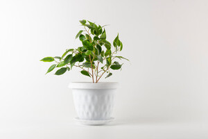 Ficus benjamina plant in a white plant pot