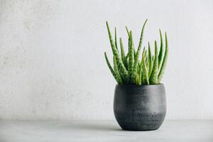 An aloe vera plant in a grey plant pot