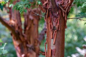 A tree with bark peeling off