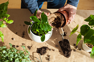 A man moving an indoor houseplant from a temporary plant pot into a ceramic bowl