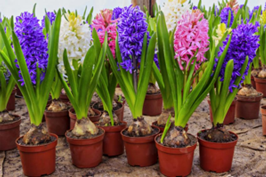 A picture of Garden Ideas: Growing Hyacinths