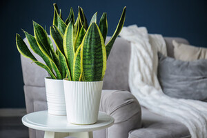 Two Sansevieria trifasciata plant in white plant pots with a sofa in the background