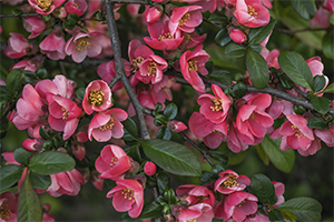 Blossoming Chaenomeles flowers