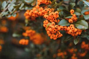 Winterberries on a tree
